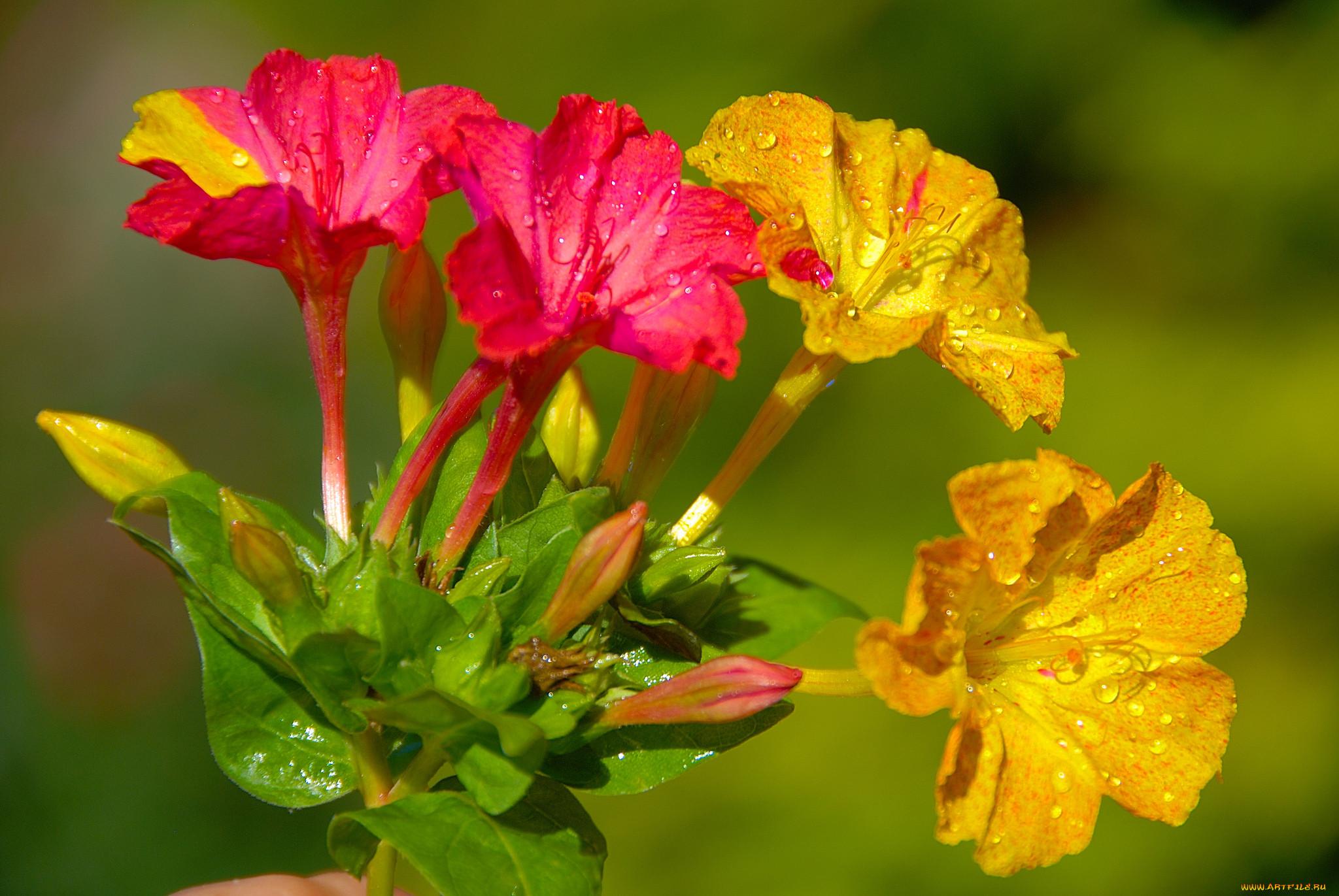 воздушные цветок утренняя зорька фото юмором
